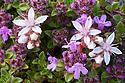 Wild Thyme {Thymus serpyllum} and English Stonecrop (Sedum anglicum) Isle of Mull, Scotland, UK. June.