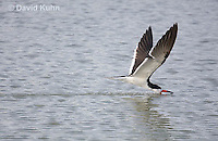 0908-0909  Black Skimmer Flying Foraging for Food (Fish), Skimming Surface of Water for Fish with Lower Mandible, Rynchops niger © David Kuhn/Dwight Kuhn Photography