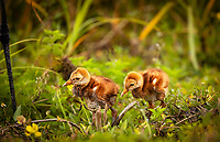 A pair of very wet very young Sandhill Crane chicks standing in grass with Mom's leg visible