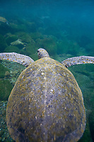 Adult green sea turtle (Chelonia mydas agassizii) underwater off the west side of Isabela Island in the waters surrounding the Galapagos Island Archipeligo, Ecuador. Pacific Ocean