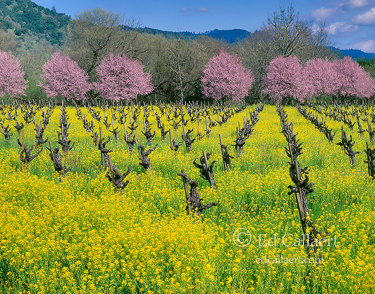 Mustard, Sinapis arvensis, Plum Blossoms, Napa Valley, California