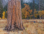 Yosemite National Park, CA: Ponderosa pine trunks (Pinus ponderosa) and black oaks (Quercus kelloggii)  with fall color in El Capitan Meadow, Yosemite Valley