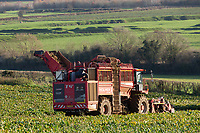 22.11.2020 Contractor lifting sugar beet in Rutland<br /> ©Tim Scrivener Photographer 07850 303986<br />      ....Covering Agriculture In The UK....
