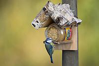 Blaumeise an der Vogelfütterung, Fettfutter, Erdnussbutter, Blau-Meise, Meise, Meisen, Cyanistes caeruleus, Parus caeruleus, blue tit. Ganzjahresfütterung, Vögel füttern im ganzen Jahr, Vogelfutter der Firma GEVO