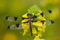 Twelve-spotted Skimmer Dragonfly (Libellula pulchella).  Pacific Northwest.  Summer.  (I believe this is a female.)