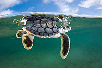 Australian flatback sea turtle hatchling swims out to sea from the nesting beach, Natator depressus (c-r), Torres Strait, Queensland, Australia - a marine reptile endemic to the Australian continental shelf