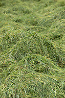 14-5-2021 Grass silage waiting to be chopped <br /> ©Tim Scrivener Photographer 07850 303986<br />      ....Covering Agriculture In The UK....