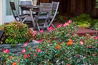 Shrub roses flowering in small space backyard garden with deck chairs,Lundstrom Garden, design by Susan Morrison