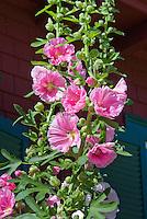 Hollyhocks, Alcea, tall vertical plant, pink flowers