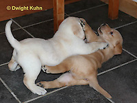 SH37-512z Lab Puppies - Genetic variation of yellow and white, 4 weeks old,  Labrador Retriever..