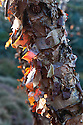 Peeling bark of the Black or River birch, Betula nigra 'Little King', early November.
