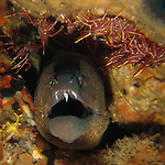 Kenting, Taiwan -- Into a moray's maw! Yellowmargin moray eel, Gymnothorax flavimarginatus.