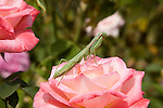 MEDITERRANEAN MANTIS, IRIS ORATORIA, ON SECRET ROSE