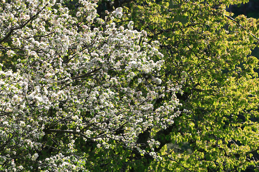 The white garb of a cherry tree in full bloom gleams against the boughs of one of its fellows, already covered with leaves and buds.