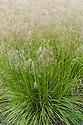 Tufted hairgrass (Deschampsia cespitosa 'Bronze Veil' or 'Bronzeschleier'), early July.