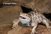 1R19-514z  Desert Spiny Lizard, Sceloporus magister