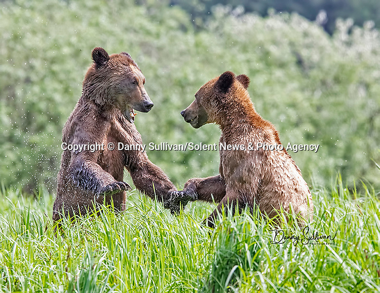 Sequence 1 of 9:  Young bears look like they're dancing as they play fight in the morning sun.  The two animals had just swum across an inlet in the Khutzeymateen Grizzly Bear Sanctuary in Canada's British Colombia when they indulged in some horseplay.<br /> <br /> The images were captured by amateur wildlife photographer Danny Sullivan.  SEE OUR COPY FOR DETAILS.<br /> <br /> Please byline: Danny Sullivan/Solent News<br /> <br /> © Danny Sullivan/Solent News & Photo Agency<br /> UK +44 (0) 2380 458800