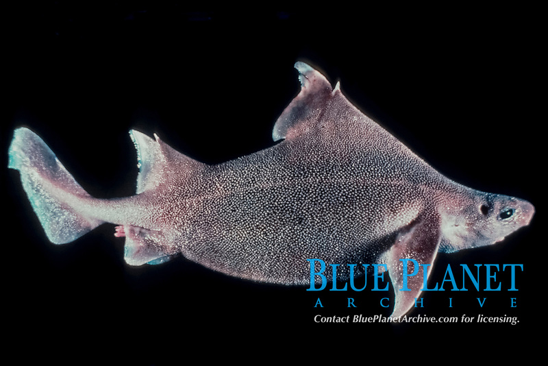 prickly dogfish, Oxynotus bruniensis, specimen from depth of 520 m., Tasmania, South Australia, Pacific Ocean