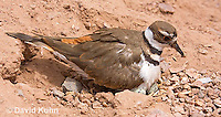 0510-1119  Killdeer, Adult Sitting on Eggs, Charadrius vociferus  © David Kuhn/Dwight Kuhn Photography