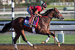 OCT 27 2014: Conquest Typhoon, trained by Mark Casse, exercises in preparation for the Breeders' Cup Breeders' Cup Juvenile Turf at Santa Anita Race Course in Arcadia, California on October 27, 2014. Kazushi Ishida/ESW/CSM