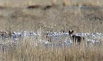 Coyotes where seen at Tule Lake California.