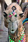 Well decorated camel, Pushkar Fair, India