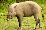 Bornean Bearded Pig (Sus barbatus) sub-adult male, Danum Valley Conservation Area, Sabah, Borneo, Malaysia