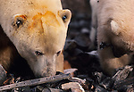 Two polar bears rummage through waste at a dump in Churchill, Manitoba. The dump has now been closed as Churchill is one of the few places in the world that polar bears gather in large numbers.