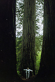 Giant Redwoods Standing Tall