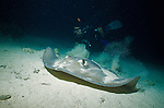 Night diver interacting with stingrays in Hol Chan marine park, Ambergris Caye, Belize