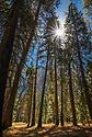 September 2014 / Yosemite National Park landscapes / Early morning sun thru Pine Grove near Cathedral Beach / Photo by Bob Laramie
