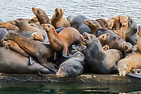 California sea lion (Zalophus californianus) crowding together (sunning/resting) on a boat dock.  Central California Coast.