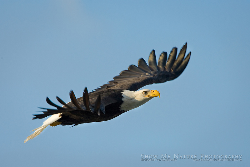 """Soaring Over the Chilkat River"", Alaska"