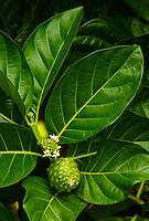 Noni fruit on tree