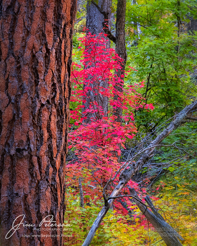 Maple Tree near West Fork Trail.  Officially, this place is called the West Fork of Oak Creek Canyon.  It's a few miles north of Sedona, and if you catch it at the right time in a good year, it's one of the best places in Arizona to see fall colors.  Framed by the trunk of a massive ponderosa pine, this young maple set out to prove that point, and I'd say it succeeded!<br /> <br /> Image ©2020 James D. Peterson