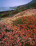 Buckwheat, Soberanes Point, Garrapata State Park, Big Sur, Monterey County, California