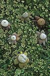 Earth Star Mushrooms