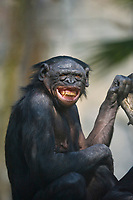 Young Bonobo grinning.