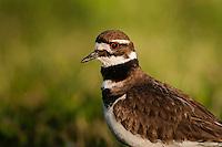 Killdeer (Charadrius vociferus). Spring, Lake Erie; Ottawa NWR, Ohio, U.S.A.