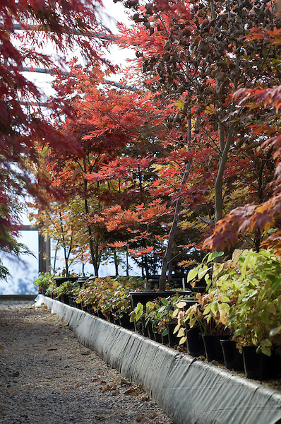 Acers in the Polytunnel