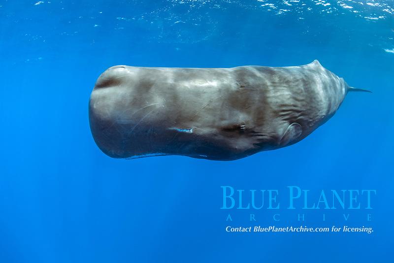 female sperm whales, Physeter macrocephalus, Dominica, Caribbean Sea, Atlantic Ocean, photo taken under permit n°RP 16-02/32 FIS-5