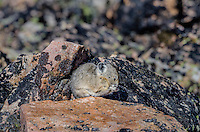 American pika (Ochotona princeps) grooming mouth/face.  Beartooth Mountains, Wyoming/Montana border.  Fall.  This photo was taken in alpine setting at around 11,000 feet (3350 meters) elevation.