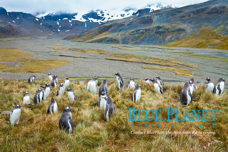 Gentoo penguins, permanent nesting colony in grassy hills about a mile inland from the ocean, near Stromness Bay, South Georgia Island.