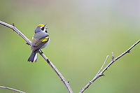 Golden-winged Warbler (Vermivora chrysoptera), male in breeding plumage singing on it's breeding territory in Sterling Forrest State Park, New York.
