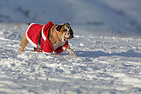 Pictured: A dog in a Santa outfit at Storey Arms in the Brecon Beacons, Wales, UK. Monday 11 December 2017<br /> Re: Freezing temperatures, snow and ice has affected parts of the UK.