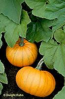 HS24-108d  Pumpkin - in garden - Baby Bear variety