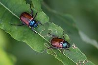Gartenlaubkäfer, Garten-Laubkäfer, Phyllopertha horticola, Phylloperta horticola, garden chafer, garden foliage beetle, Le hanneton des jardins, le hanneton horticole