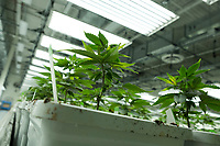 Young cannabis plants fill the vegetation room at the production and packaging facility for Garden Remedies, a medical cannabis producer, in Fitchburg, Massachusetts, USA, on Fri., Feb. 22, 2019. Cannabis plants from 1-week-old to 4-weeks-old stay in this room in one of the earliest stages of the production process.