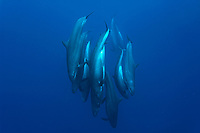 False killer whales (pseudorca crassidens) A tightly bunched group of false killer whales dive vertically. Azores.