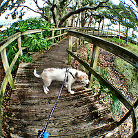A terrier dog walks on a wooden walkway during his daily walk in Holly Hill, Florida.iPhone photo from the archive at www.bcpix.com. (Photo by Brian Cleary/www.bcpix.com)